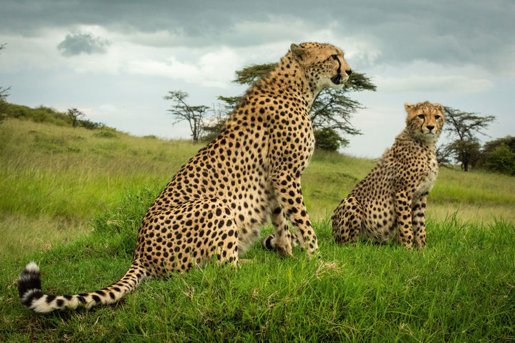 Cheetah sits with cub on grassy mound