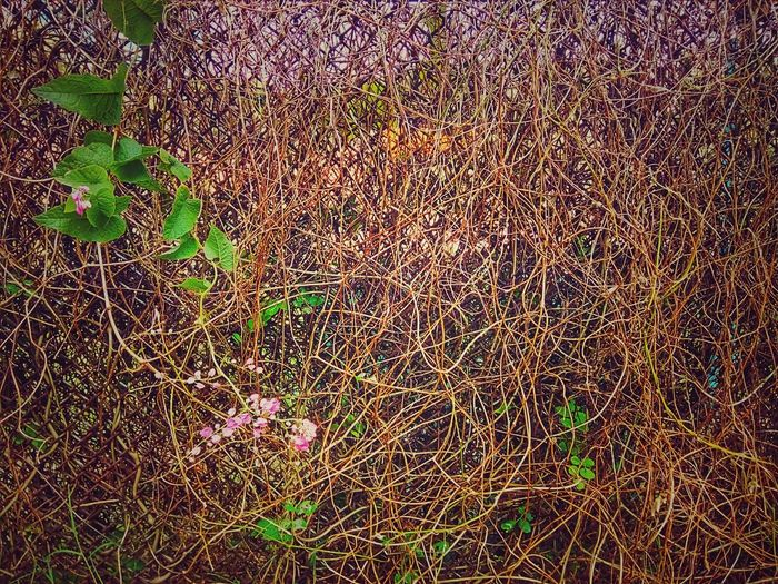 Ivy Creeper Creeper Plant Ivy Plant Ivy Photography Creeper Photography Ivy Collection Creeper Collection Nature Color Of Nature Beauty Of Nature Nature Color Nature Collection Nature Photography Colorful Nature Nature Art Photography Nature Art Nature Art Collection Fence Ivy On Fence Creeper On The Fence Ivy On The Fence Ivy And Flower Creeper And Flower
