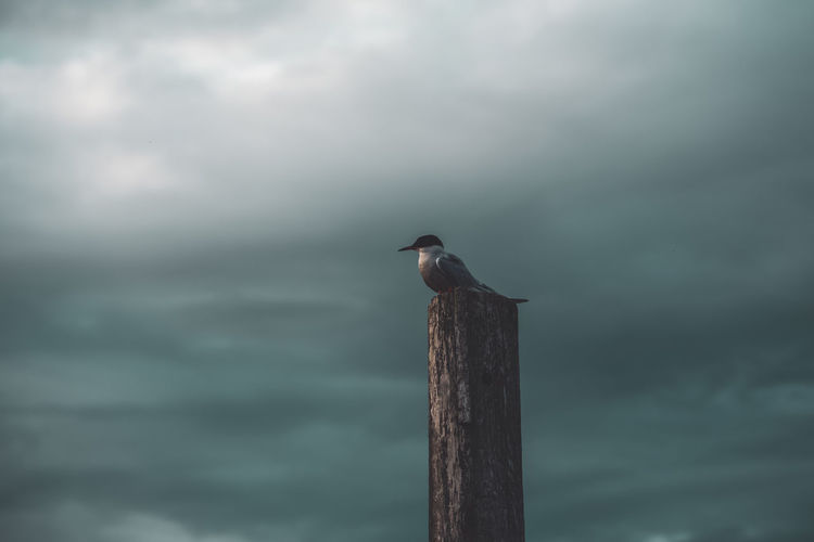 Common tern perching on a mooring post in the harbor
