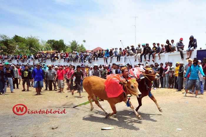 Karapan Sapi Pesonaindonesia WisatabloidDestination Maduraisland Jawatimur INDONESIA
