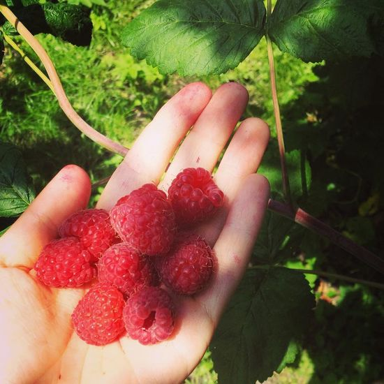 holding summer in the palm of my hand Hand Raspberry Grow Harvest Summer Freshness Sweet Fruit Red Green Bio Garden Healthy Eating Smells Like Summer Beauty Nature EyeEmNewHere Fruit Holding Red Healthy Eating Freshness Nature Agriculture Summer Food Plant Outdoors Lifestyles first eyeem photo