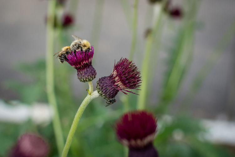 Close-up of thistle on purple flower