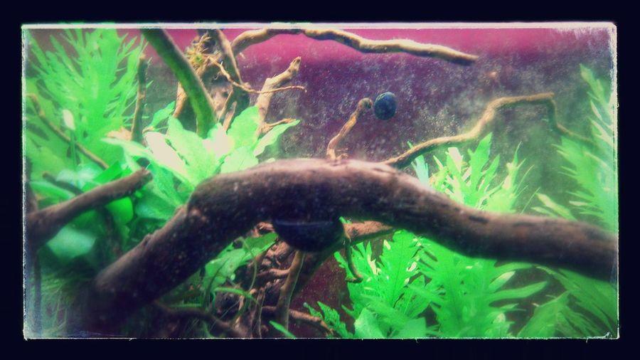 Caracol Neritina Pulligera, Aquarium