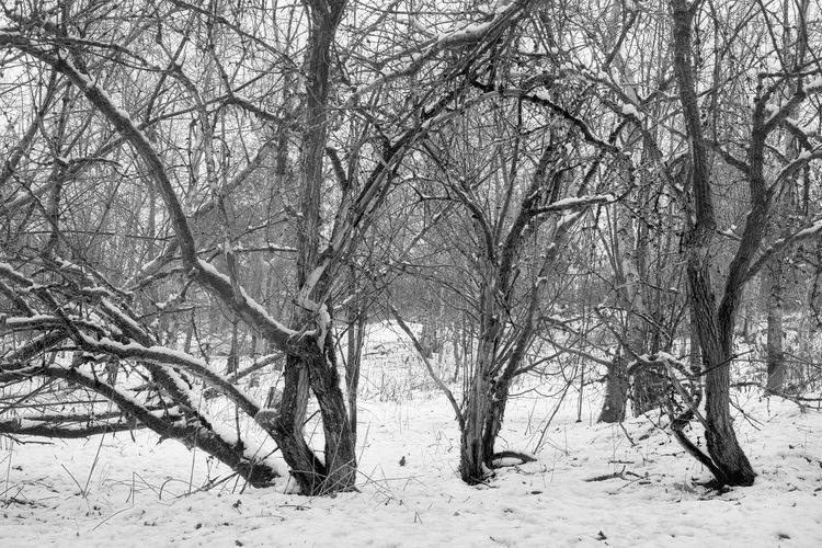 Winter in Auchterarder Bare Tree Beauty In Nature Black & White Black And White Branch Hawthorn Landscape Landscape_Collection Nature Nature Photography No People Outdoors Scotland Scotland 💕 Snow Snow ❄ Tranquility Tree Tree Trunk Trees Winter Winter