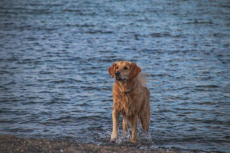Dog Dog Golden