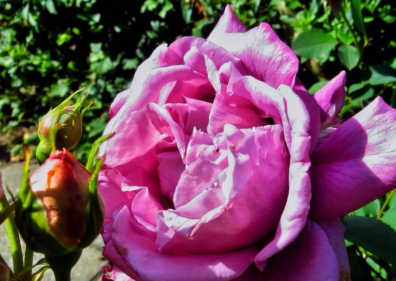 Incence. Tadaa Community EyeEm In My Garden Rose♥
