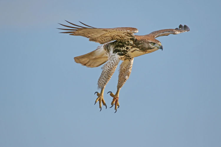 Low angle view of red-tailed hawk flying against clear sky