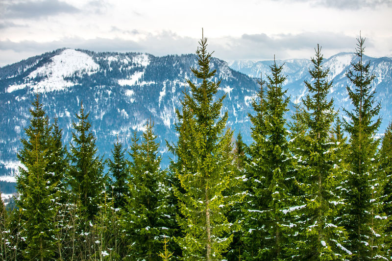 Pine Trees Against Mountains During Winter