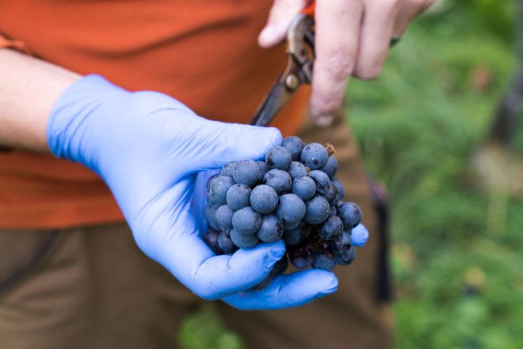 Midsection of farmer harvesting grapes at vineyard