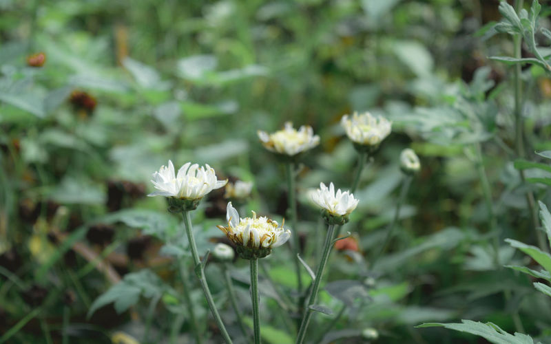 Close-up of white flowering plant on field