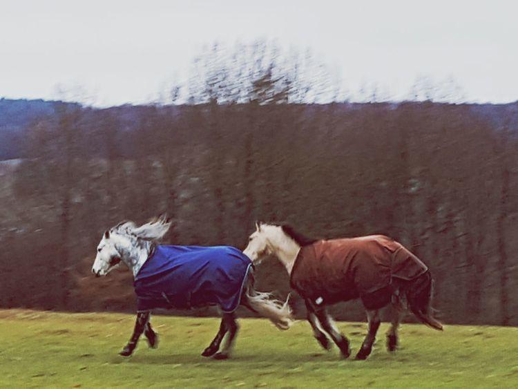 going wild horses Running Horses Fighting Horses Horse Foal Mane Grazing Herbivorous