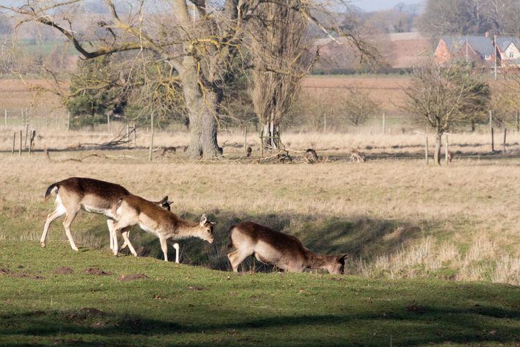 Deer Outdoors Nature Animal Themes Mammal Animal Wildlife No People Animal Day Herbivorous Landscape Herd Group Of Animals Grass