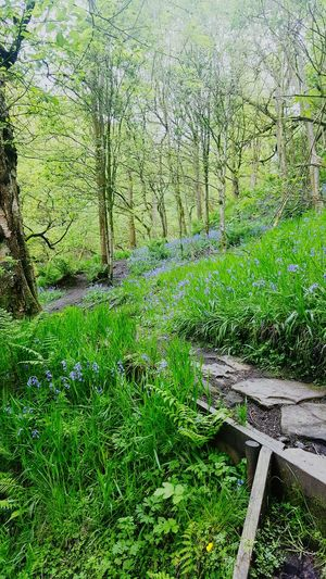 Bluebells Growth Green Color Grass Nature Tree Day No People Outdoors High Angle View Tranquility Plant Beauty In Nature The Great Outdoors - 2017 EyeEm Awards WoodLand Day Outdoors. Taking Photos Eye4photography  Samsungphotography Freshness Purple Flower Lavender Nature Beauty In Nature Scented