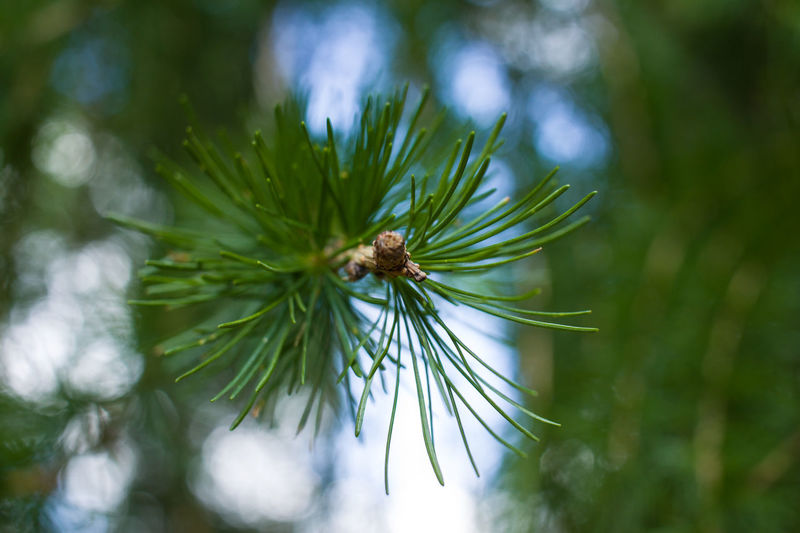 Plant Growth Green Color Day No People Close-up Nature Beauty In Nature Focus On Foreground Outdoors Pine Tree Tree Selective Focus Leaf Plant Part Invertebrate Fragility Vulnerability