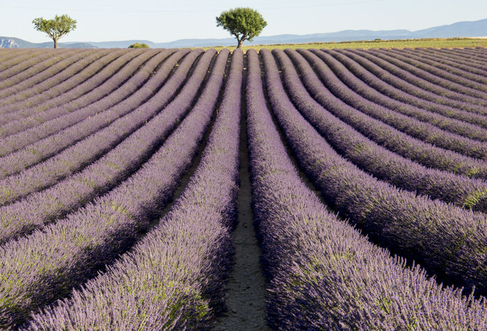 Flowering of lavender in Valensole Lavender Field Provence Provence Alpes Cote D´Azur Tree Trees Lavander Flowers Lavender Lavender Colored Lavenderflower Nature Outdoors Trees And Sky Valensole