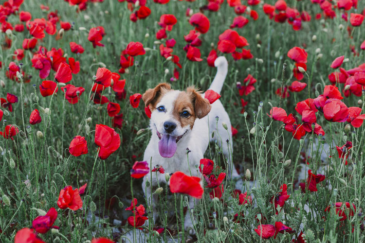 portrait outdoors of a beautiful jack russell standing in a poppy field at sunset. Spring concept Spring Photograph Landscape Grass Horizon Lifestyle Nature Summer Fun Meadow Young Photo Happy Woman Field Green Message Sky Photographing Picture Cellular Background Technology Girl Flowers Love Clear Outdoor Environment Red Poppy Outdoors Sunset Dog Pet Obedient Portrait Owner Sitting Jack Russell Terrier White Small Cute Intelligent Beautiful