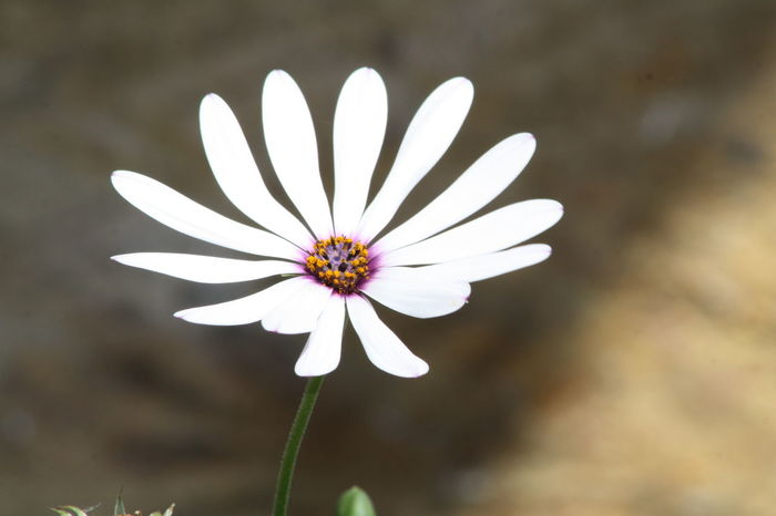 Beauty In Nature Blooming Blossom Botany Close-up Daisy Day Flower Flower Head Focus On Foreground Fragility Freshness Growth In Bloom Nature No People Outdoors Petal Plant Pollen Selective Focus Stamen Stem White White Color