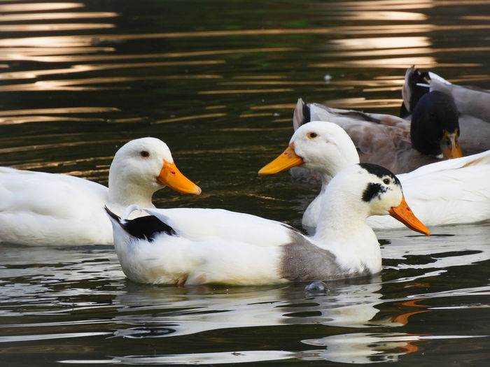 Duck India Colourful Animal Themes Bird Water Swimming Togetherness Beak Young Animal Lake Young Bird Water Bird Animal Family Gosling Goose Geese Duckling Animal Wing