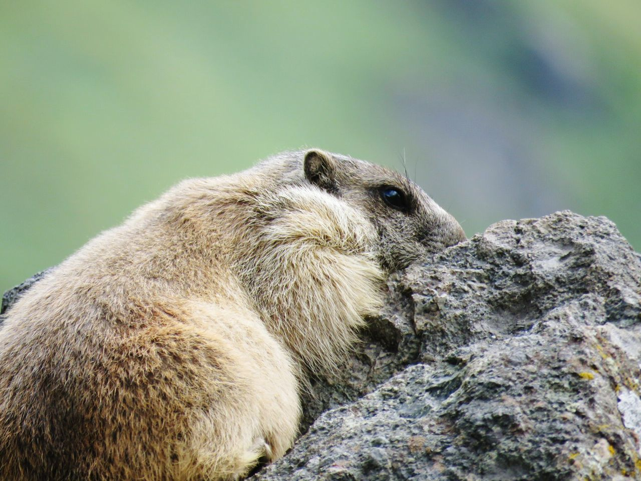 Close-Up Of Rodent On Rock
