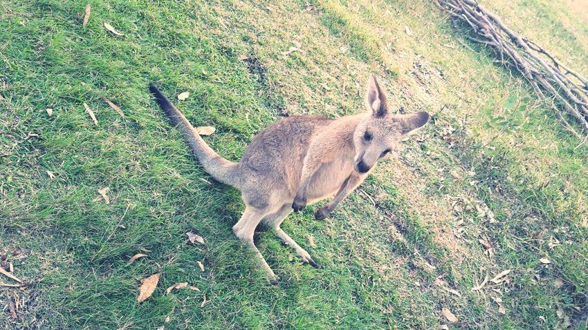 Kangaroo Morisset Park Australia