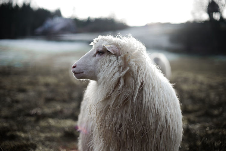 a sheep in the winter Sheep Fur Nature Animal Natural Pets Dog Animal Hair Close-up Grass Fur Coat Domestic Nose Calm