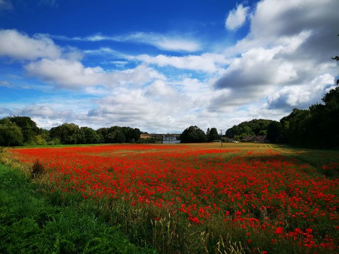 Scenic view of red flowering trees on field against sky