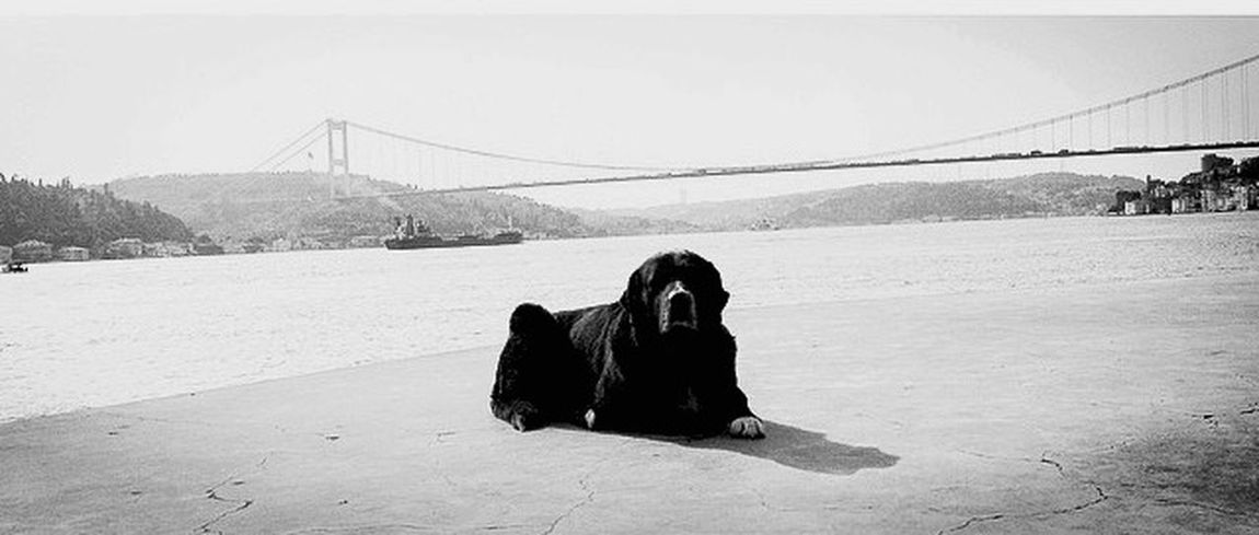 it•tanbul. Dog Istanbul Boğaz Köprüsü Bosphorus Blackandwhite