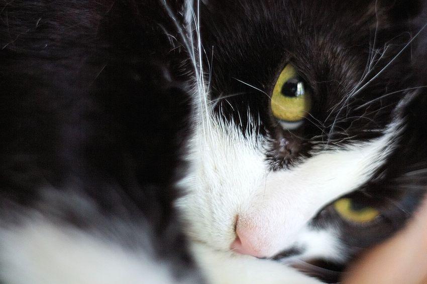 Animal Animal Body Part Animal Eye Animal Head  Animal Themes Black Color Blackandwhite Cat Close-up Cute Dreaming Kitty Kitty Cat Whisker