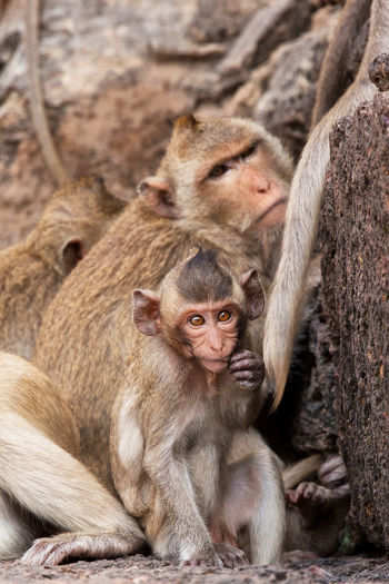 Thailand Animal Family Animal Themes Animal Wildlife Animals In The Wild Close-up Day Infant Japanese Macaque Lopburi Mammal Monkey Nature Outdoors Temple Togetherness Wildlife Young Animal