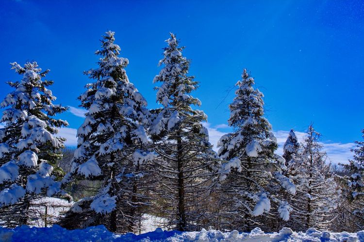 Snow covered trees Snow Ice Snow Covered Pensylvania Nikon D5200 Snow Tree Blue Winter Cold Temperature Pine Tree Forest Sky Close-up Snowcapped Tranquility Tranquil Scene Scenics Coniferous Tree Spruce Tree Pinaceae Pine Woodland Snowcapped Mountain