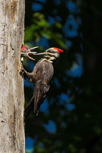 Pileated Woodpecker - Dryocopus pileatus, mother feeding her baby nestlings. Animal Themes Animal Wildlife Animals In The Wild Beauty In Nature Bird Bird Of Prey Branch Close-up Day Dryocopus Pileatus Focus On Foreground Nature No People One Animal Outdoors Perching Pileated Woodpecker Tree Tree Trunk Woodpecker