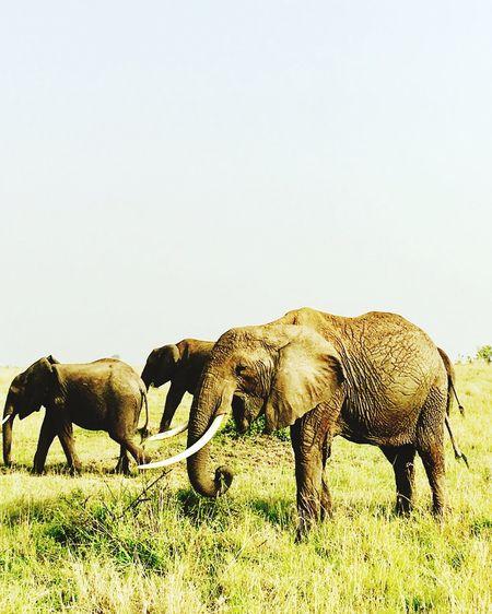 Elephants +