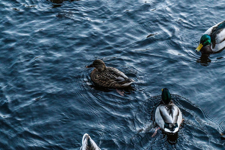 Animal Themes Animal Wildlife Animals In The Wild Beauty In Nature Bird Day Duck High Angle View Lake Nature No People Outdoors Swimming Water Water Bird