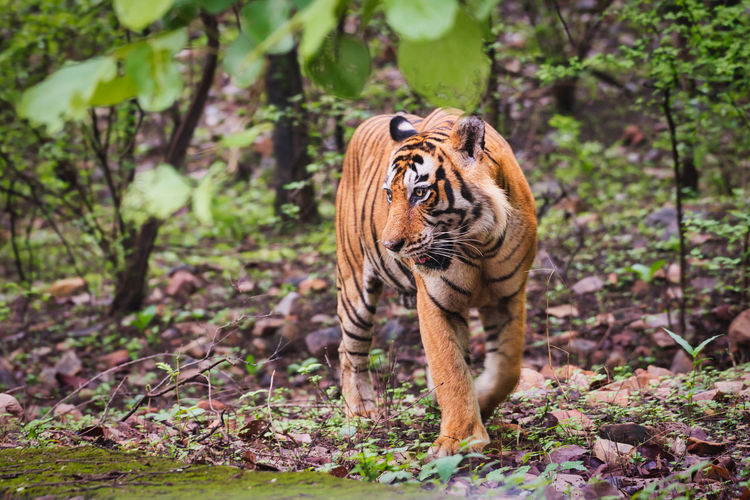 View of a tiger in ranthambhore national park