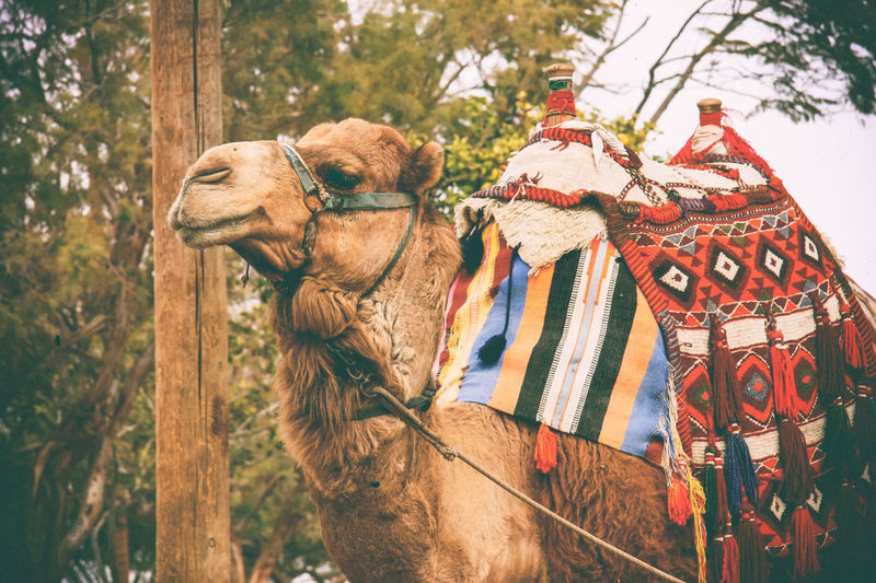 Bactrian camel against trees