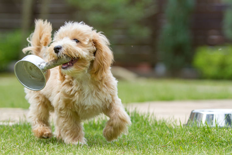 Playful maltese dog with equipment on grassy field