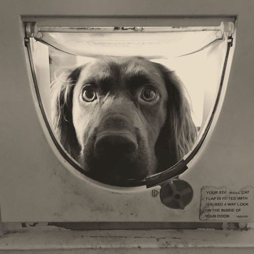 Portrait Of Cocker Spaniel Looking In Washing Machine