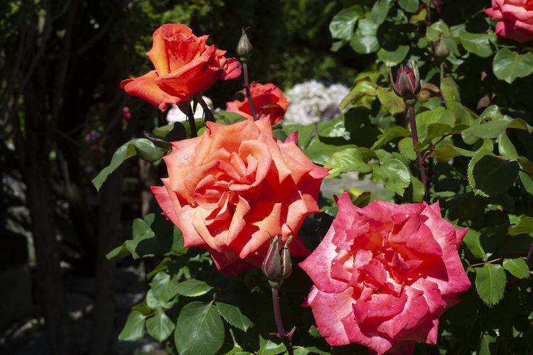 Close-up of rose roses