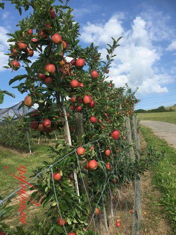 Obstplantagen bei uns im Dorf. 💕💗 Monique52 Obst Apfelbaum  Plantage Hofladen Schwarzwald Hochrhein Black Forest