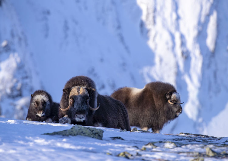 American bison standing on snowcapped mountain