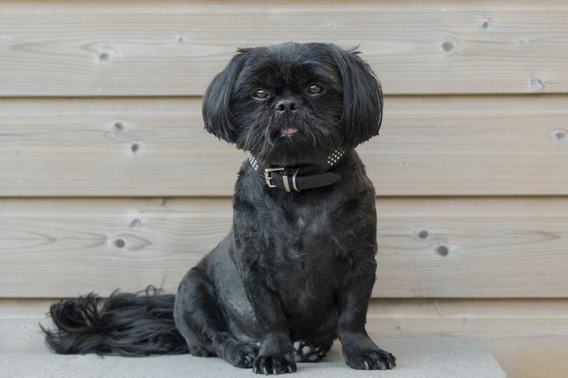 Portrait Of Shih Tzu Sitting On Bench Against Wooden Wall