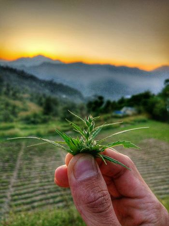 They say every herb has its own story 🌿 ! Human Hand Focus On Foreground Beauty In Nature Freshness Sunset Close-up Outdoors Nature Herbst🍁 Sativa Marijuana Plants Potheadsociety Green Leaves Day Sky Hdr_Collection HDR Vagabond