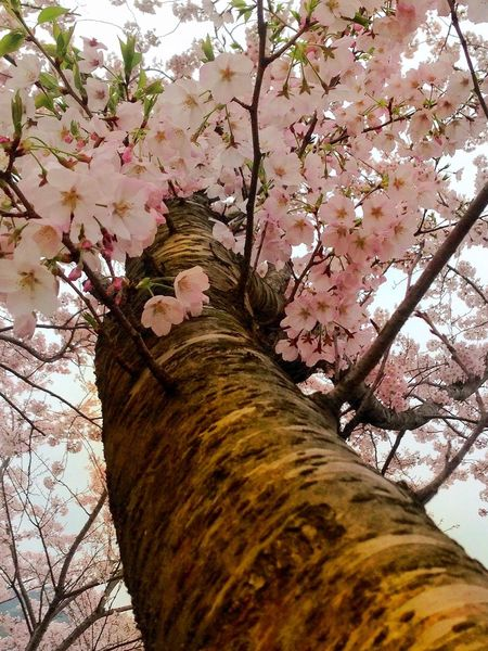 Selective Focus Tree And Sky Treetop Cherry Blossoms Mother Nature Tree Growth Tree Trunk Branch Real People Nature Beauty In Nature Pink Color Day One Person Low Angle View Outdoors Cherry Tree Flower Fragility Human Hand Human Body Part Close-up Perching Saikai City Japan