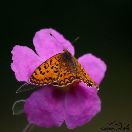 Güzel Iperhan Photooftheday Showcase April Butterfly Flower Love ♥ Macro Macro Photography Kelebek Makro Nature Bugs Fly çiçek Photography Photographer Cawoosh