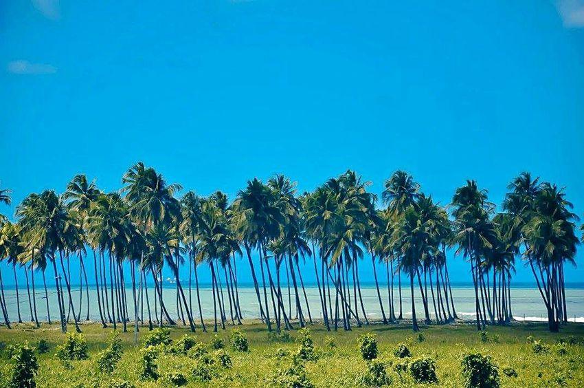 Praia Coco Coconut Trees Coconuts Ceu Azul