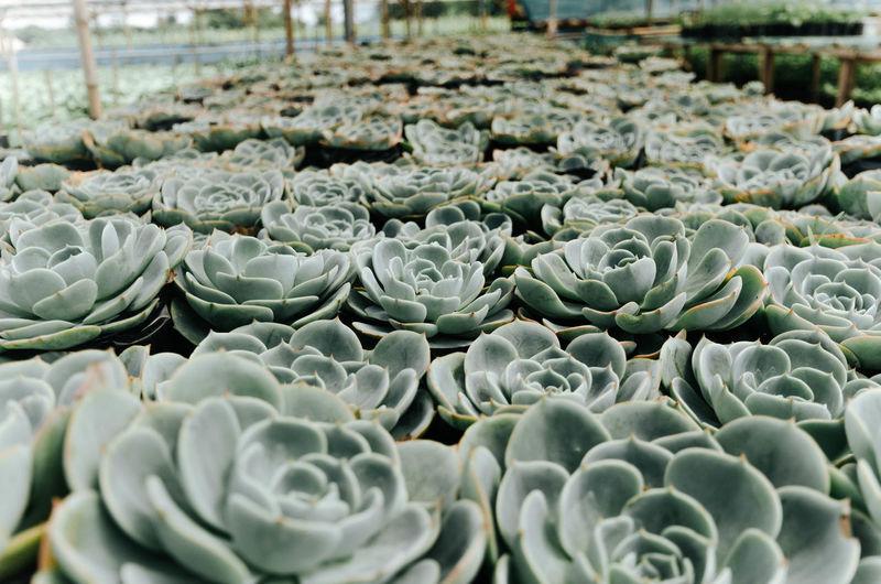 Succulent plants at greenhouse