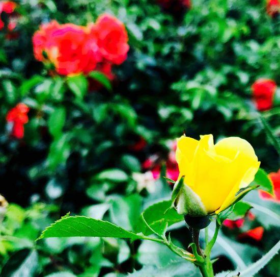 Intrusion en beauté .. Flower Petal Nature Beauty In Nature Green Color Yellow Color Red Color Peace