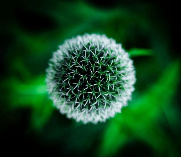 Green Thistle Green Round Prickly Flora Garden Macro Plants Thistle