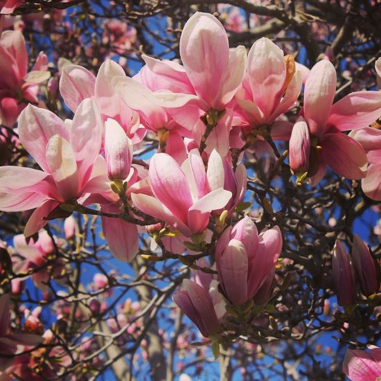 Magnolia Tree Nature Photography Spring Flowers