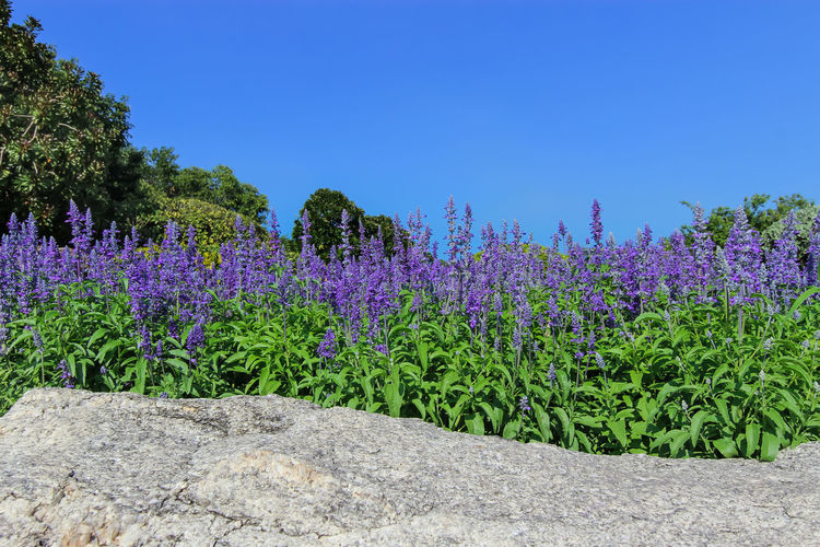 Flower fountain - Blue Salvia flower in the garden Aromatherapy Blue Salvia (salvia Farinacea) Flowers Blooming In The Garden Green Nature Sage Blue Salvia Blue Sky Botany Flower Fountain Flower Garden Purple Purple Flower Salvia Salvia Flowers